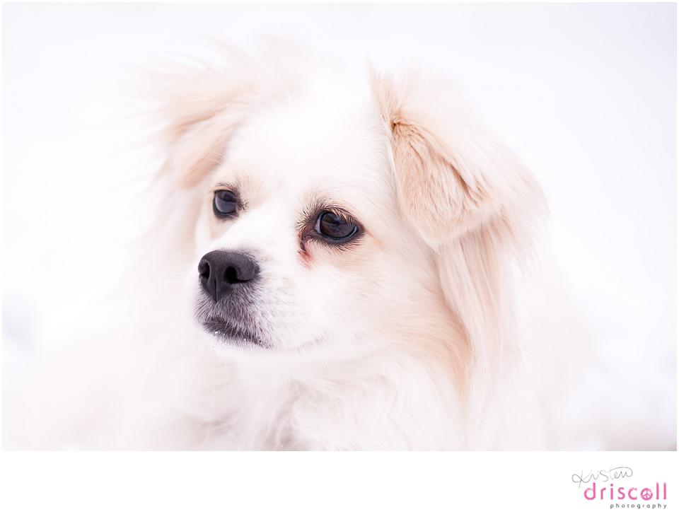 kristen-driscoll-photography-pet-photos-pomeranian-snow-nj-20130308-01